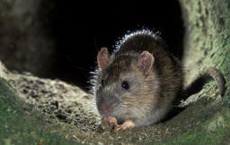 ojos rata y raton
