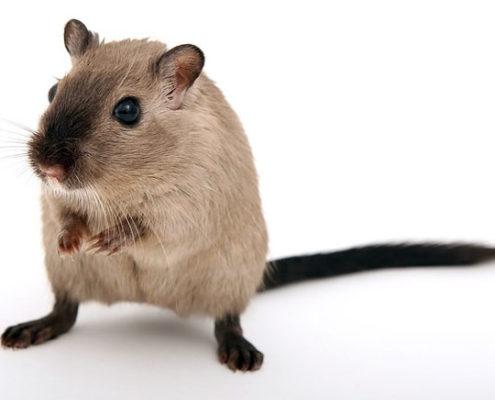 ojos de las ratas