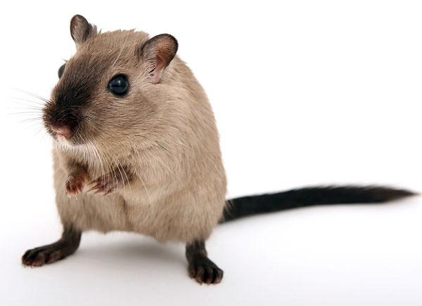 Curiosidades de los ojos de las ratas