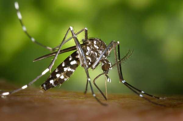 La incógnita de los mosquitos