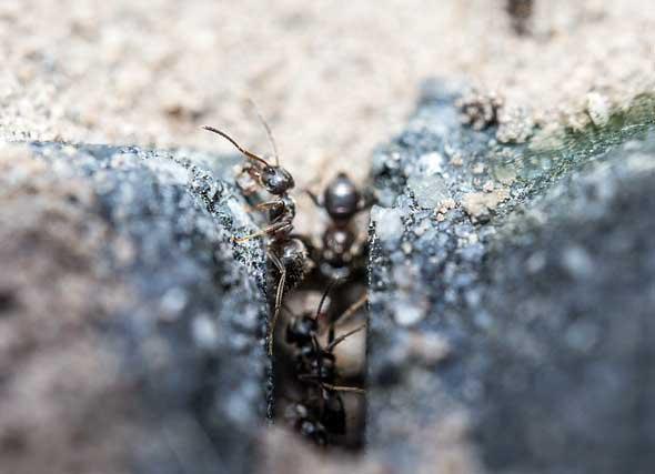 Como saber si tenemos plaga de Termitas aladas u Hormigas