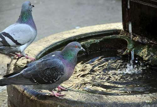 Sistemas para combatir y eliminar las palomas urbanas