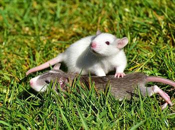 diferencia-entre-rata-y-raton