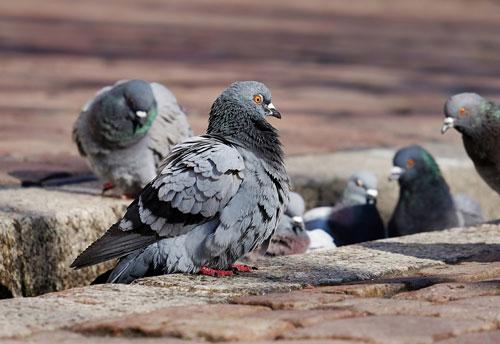 ahuyentar las palomas