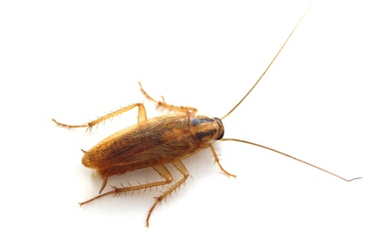 cucaracha germanica