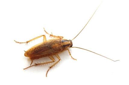 Como es la Cucaracha Germánica